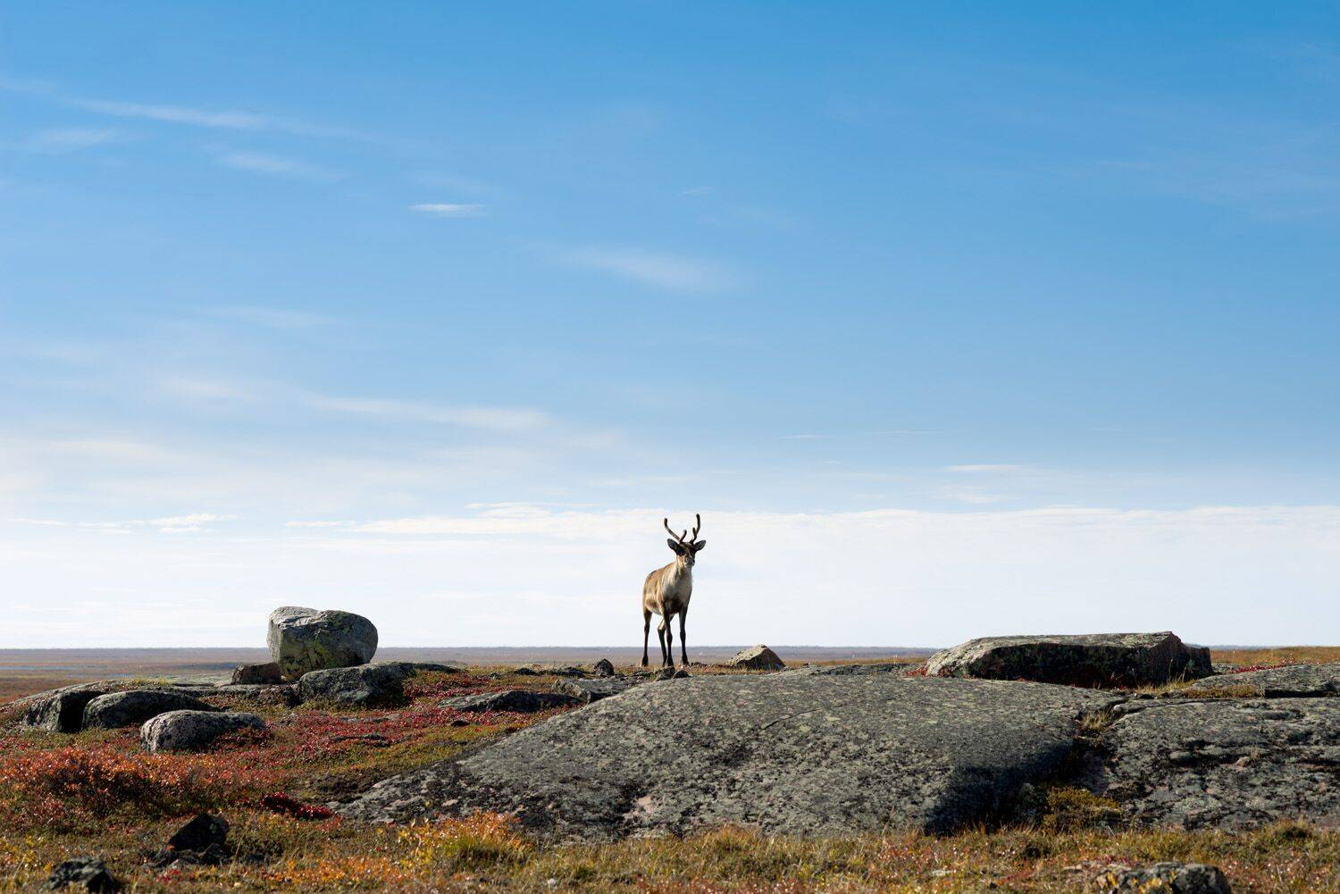 ArcticSpirit03-Caribou on the Arctic Tun